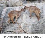 Mountain Goats Climbing A...