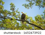 Majestic, regal, bald eagle in a park in New Jersey with beak slightly open. The eagle is guarding a nearby nest. This is the national bird of the USA.
