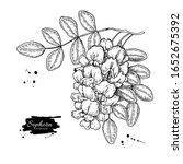 sophora japonica vector drawing.... | Shutterstock .eps vector #1652675392