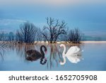 Black   White Swan With...