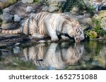 Bengal Tiger Drinking In The...