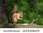 A Red Squirrel  Sciurus...