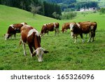 A Herd Of Brown And White Cows...