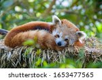 A Red Panda Is Sleeping On The...