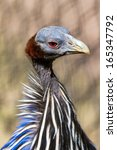 Small photo of Portrait of the Vulturine Guineafowl (Acryllium vulturinum). It is the largest extant species of guineafowl.