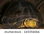 Small photo of Endangered Amboina Box Turtle (Cuora amboinensis) looks at the camera n the jungles of Borneo. AKA Malayan or Malaysian or Southeast Asian Box Turtle. This is an unidentified subspecies.