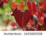 Cercis Canadensis Forest Pansy  ...