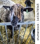 Small photo of A portrait of a black sheep with dreadlocks