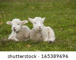Pair Of Lamb Siblings Laying I...