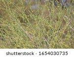 Wild Cactus  In Thar Desert ...