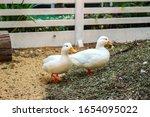 White Duck Walking On Ground.