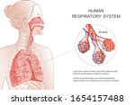 human respiratory system  lungs ... | Shutterstock .eps vector #1654157488
