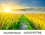 Ripe Rice In Farmland At Dusk...