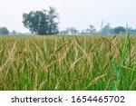 Bamyard Grass Bamyard Millet ...