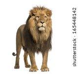 Lion Standing  Panthera Leo  1...
