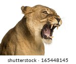 Close Up Of A Lioness Roaring ...