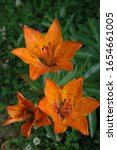 Small photo of Lilium bulbiferum, common names orange lily, fire lily and tiger lily, is a herbaceous European lily with underground bulbs, belonging to the Liliaceae