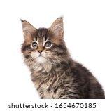 Portrait Of Maine Coon Kitten...
