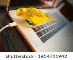 Budgerigar Parakeet Standing O...