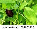 Eggplant Growing Branch Leaf...