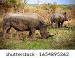 Two Black Rhinos Graze On A...
