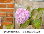 hydrangea steyermarkii in the... | Shutterstock . vector #1655339125
