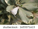 White Creamy Butterfly On Leaves