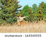 Whitetail Deer Buck Standing In ...