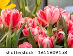 Tulip. Beautiful Bouquet Of...