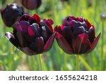 Peony Tulip  Black Hero  Back...
