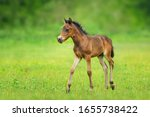 Bay Foal On Spring Green Pasture