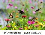 Amazing Butterflies In A Zinnia ...