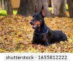 Black Doberman Portrait Nature...