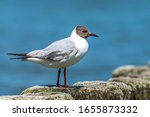 A Black Headed Gull Stands On A ...