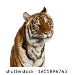 Close Up On A Male Tiger\'s Hea...