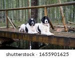 Portrait of two giant breed dogs on a bridge looking at photographer. White and black faithful family friends on Jussi nature trail between tall pine trees. Estonia, North Europe.