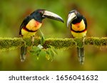 Two small toucan Collared Aracari, Pteroglossus torquatus, bird pair with big bill. Bird sitting on the branch in forest, Boca Tapada, Costa Rica. Nature travel in central America. Toucan open bill.