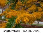 Grevillea Robusta Commonly...