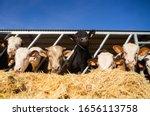 Cattle in a farm. animal...