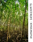 Small photo of Mangrove forest at the river estuary, Thailand