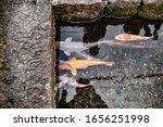 japanese carp  koi fish ... | Shutterstock . vector #1656251998