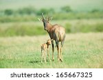Topi Antelope Mother With Baby