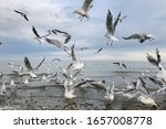 A Flock Of Large Gray Gulls...