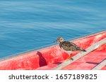 Bird Turnstone Arenaria...