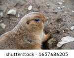 A Prairie Dog Closeup While It...