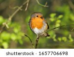 Robin Perched On A Branch