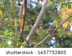 little owl perched on a branch... | Shutterstock . vector #1657752805