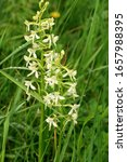 Small photo of Closeup of a lesser butterfly-orchid (Platanthera bifolia, Orchidaceae) in the Stolowe Mountains National Park in Poland