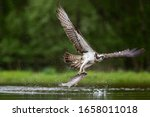 An Osprey Fishes In Scotland