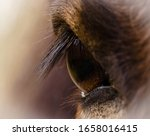 The Brown Eye Of A Brown Horse  ...